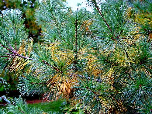 Pine Needles Acidify Soil