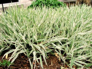 Ribbon Grass (Phalaris arundinacea)