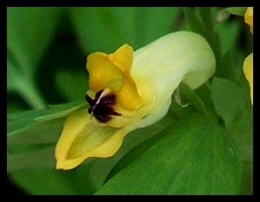 Corydalis nobilis, Robert Pavlis