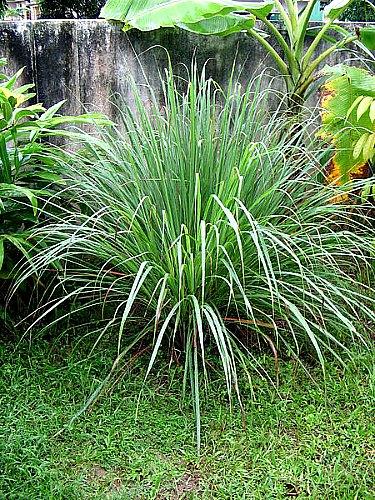 Cymbopogon citratus - lemongrass