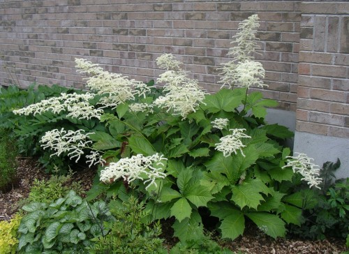 Rodgersia podophylla 'Pagode'