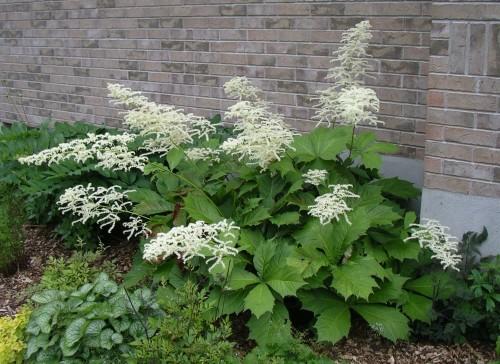 Rodgersia podophylla 'Pagode'