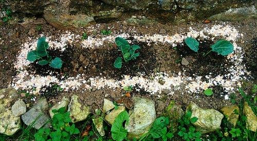 Eggshells controlling slugs in garden