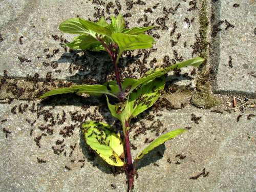 How to get rid of ants with mint garden myths ants and mint leaves after ccuart Gallery