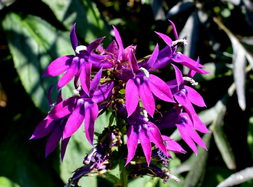fertilizer garden myths; Lobelia cardinalis X Lobelia siphilitica, by Robert Pavlis
