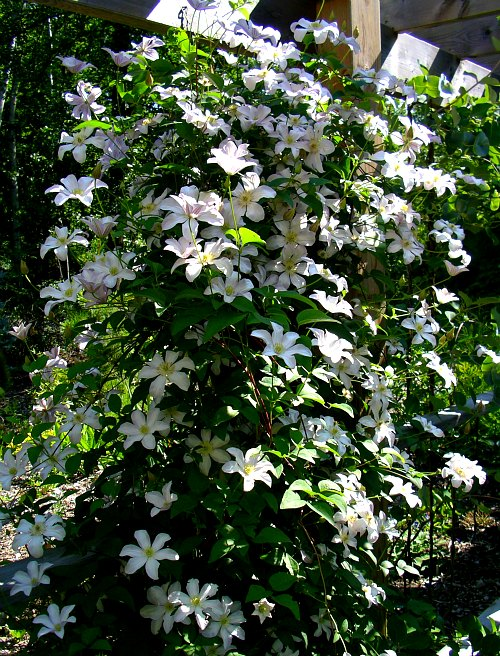 How To Germinate Clematis Seed - Clematis Houldine, by Robert Pavlis