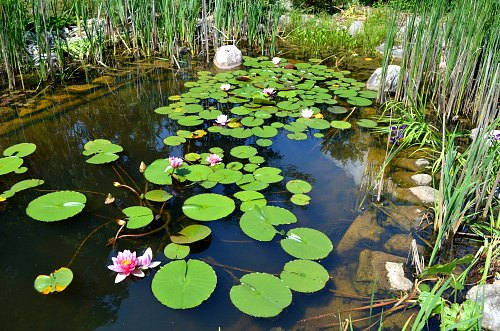 Natural pond with no pumps, filters or added beneficial pond bacteria, by Robert Pavlis