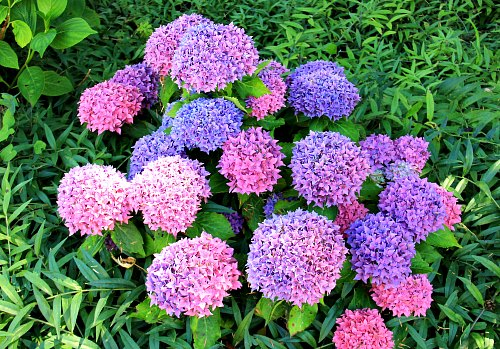 Hydrangea myths, is it blue or pink?