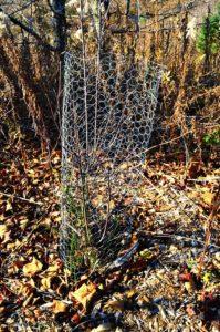Chicken wire tree guard, by Robert Pavlis