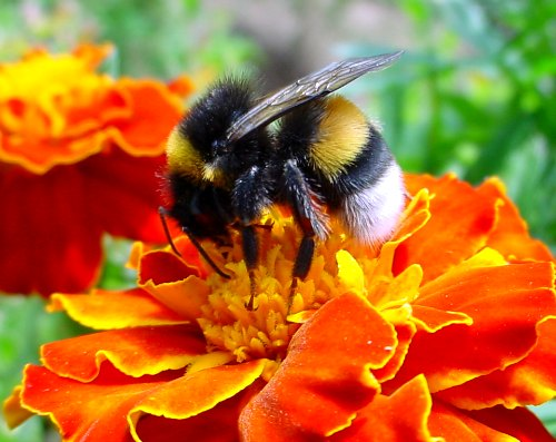 Are native bees dying? Bumblebee on flower