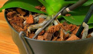 Orchid repotting - coconut husk, by Robert Pavlis