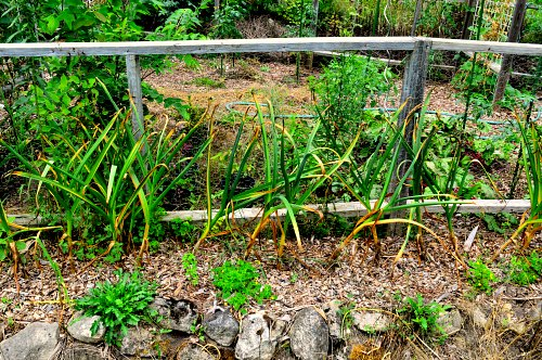 Planting time for garlic did not affect plant height, by Robert Pavlis