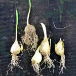 garlic roots in September
