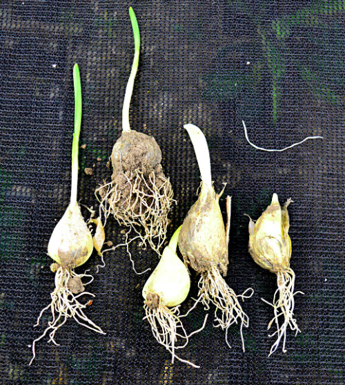 Garlic already growing in September