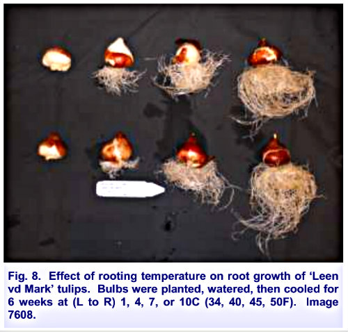 tulip root growth From Preparing for The 2015 Tulip Forcing Season By Bill Miller (ref 3)
